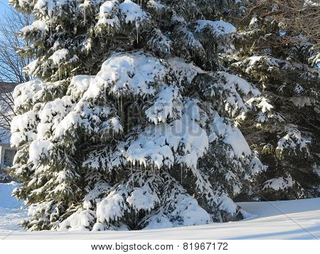 Close up of heavy white snow on spruce or pine tree