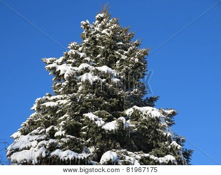 Fresh White Snow on Pine or Spruce Tree with beautiful clear blue winter sky