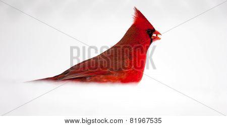 Male Northern Cardinal / Cardinalis cardinalis