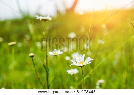 Green Grass In The Meadow And Camomile Flowers