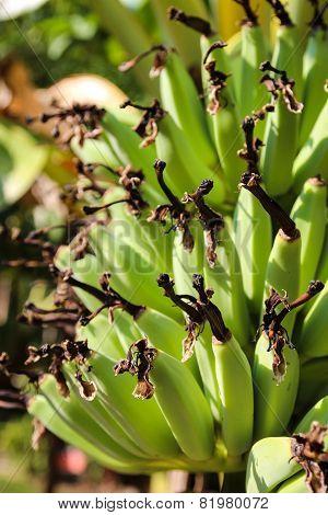 Raw Banana On Tree