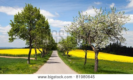 Road, Alley Of Apple Tree, Field Of Rapeseed