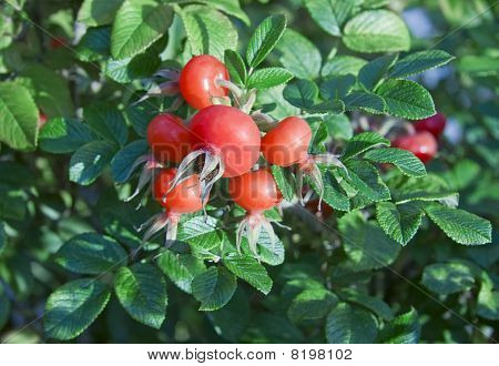 Rese Hips With Fruits