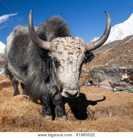 Yak On The Way To Everest Base Camp And Mount Pumo Ri