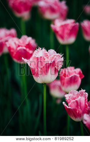 White And Pink Flowers Tulips In Spring Garden