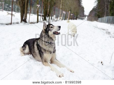 Husky lying on the snow