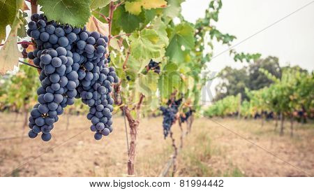 Pinor Noir grapes, vineyard scene