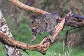 pic of wildcat  - Scottish Wildcat walking along a branch caught in mid action.