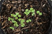 image of ermine  - Baby lemon basil germinated from seed in pot