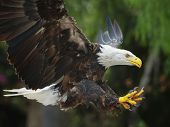 picture of fish-eagle  - Portrait of a bald eagle  - JPG
