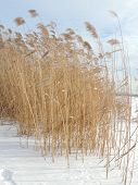 stock photo of windy  - Phragmites the common reed in winter windy weather