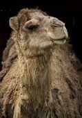 stock photo of camel  - Closeup portrait of a camel on a black background - JPG