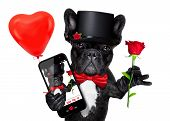 picture of dog-rose  - valentines french bulldog dog holding a red rose with one hand taking a selfie with the other isolated on white background - JPG
