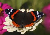 stock photo of zinnias  - Red Admiral butterfly on white zinnia flower - JPG
