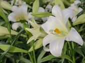 picture of easter lily  - Close up of Lilium longiflorum  - JPG