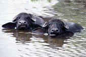 Постер, плакат: Muzzles of chewing buffalos are stick out of the water