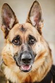 foto of shepherd dog  - Brown German Shepherd Dog Close Up Portrait - JPG