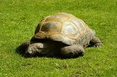 picture of giant lizard  - Close up of a beautiful giant tortoise - JPG