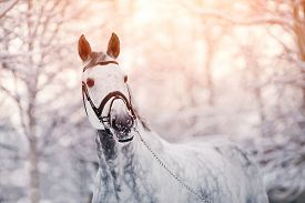 stock photo of stallion  - Portrait of a gray sports horse in the winter at sunset - JPG