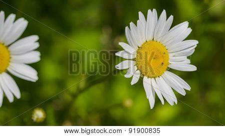Ox Eye Daisy. Leucanthemum Vulgare.