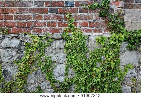 Ivy On A Rough Brick Wall