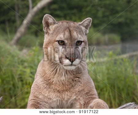 Cougar Head Shot