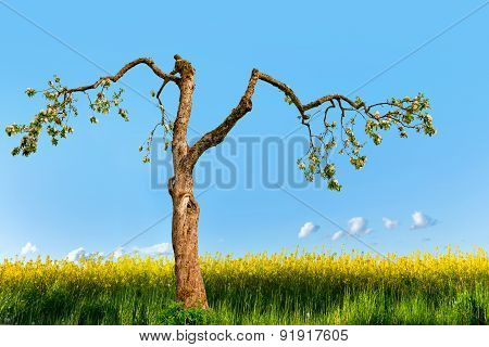 Old Apple Tree In Rapeseed Field
