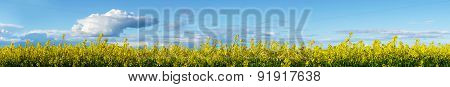 Yellow Rapeseed Plants On Blue Sky