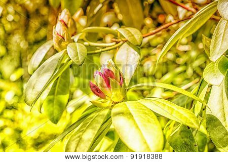 Azalea Bud In Sunny Spring Garden And Green Leaves