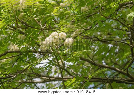 Blossoming Rowan Tree With Green Leaves Against Dark Blue Sky