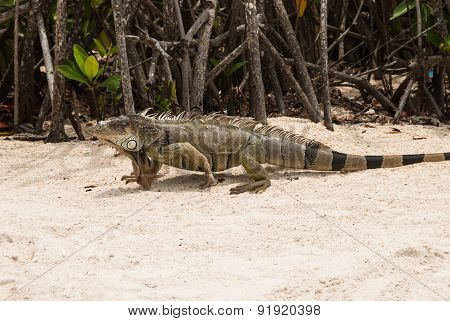 Animals Of Florida: Iguna On Tropical Beach In Key West