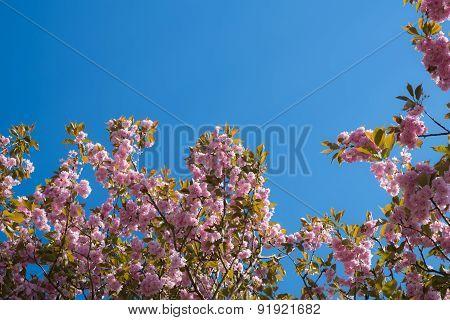 Against Blue Sky: Japanese Flowering Cherry Tree Blooming In April
