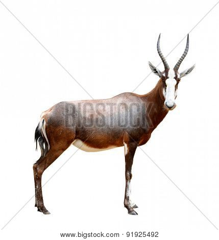 blesbok antelopes (Damaliscus pygargus) isolated on white background