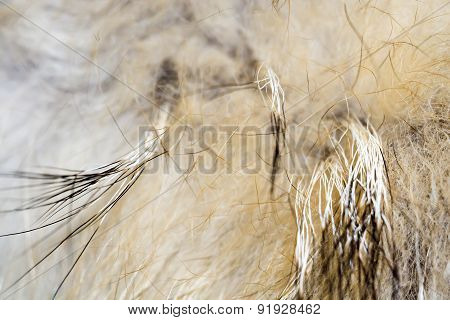 Macro Of Raccoon Fur
