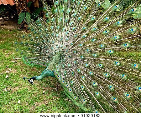peacock spread tail-feathers for female