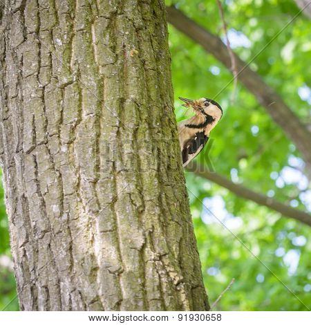 Woodpecker Hidding