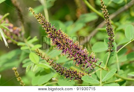 Pink Acacia Buds