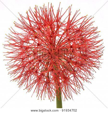 Blood Lily Flower
