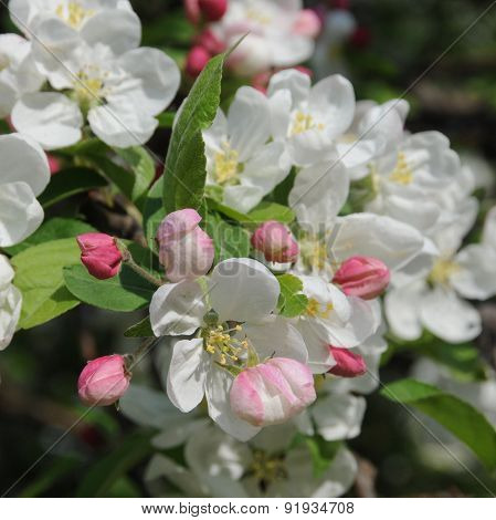 Flowers Of Paradise Apples