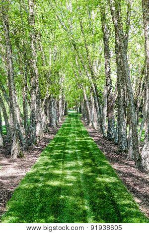 Lush Green Grass Between Birch Trees