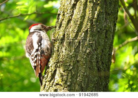 Woodpecker on a tree trunk hole.