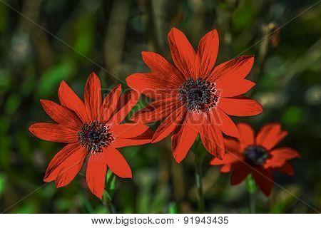 Anemone pavonina flowers