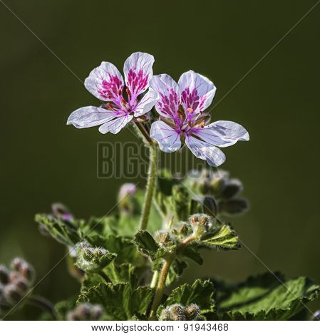Erodium pelargoniiflorum 'Sweetheart' flowers, heron's bill