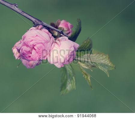 Branch With Buds Of Pink Flowers Of An Oriental Cherry, Toning