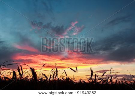 Cereal Ears Of Rye Field At Background Of Crimson Sunset Cloudy Sky