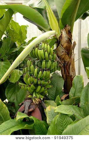 Banana Plant In Greenhouse.