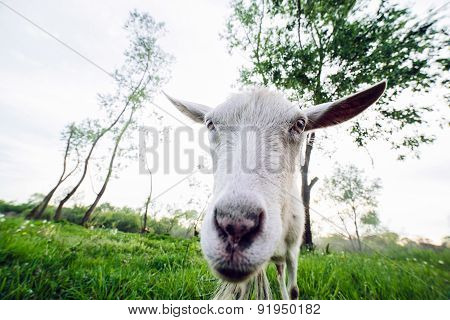 Goat looking into the camera