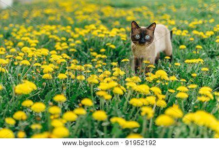 cat dandelion