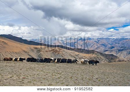 Caravan Of Yaks in Dolpo, Nepal