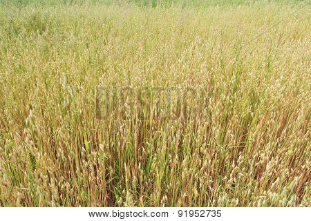Ripening Oat Or Avena Sativa Ranch Field Floral Background